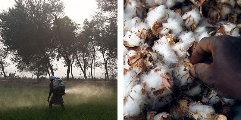 Pestovanie bavlny